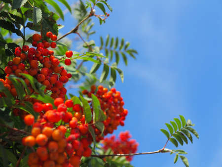 ashberry: Autumn red rowan berries on a tree. Rowanberry ashberry in the fall in natural setting on blue sky background. Sorbus aucuparia.