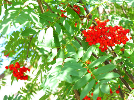 Autumn red rowan berries on a tree. Rowanberry ashberry in the fall in natural setting on a green background. Sorbus aucuparia. Stock Photo