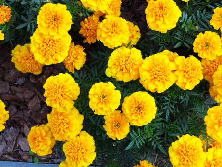 tagetes: Yellow aster flowers in the garden as background. Marigold - Tagetes erecta L.