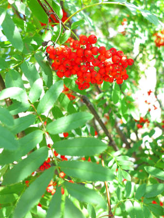 sorbus aucuparia: Autumn red rowan berries on a tree. Rowanberry ashberry in the fall in natural setting on a green background. Sorbus aucuparia. Stock Photo