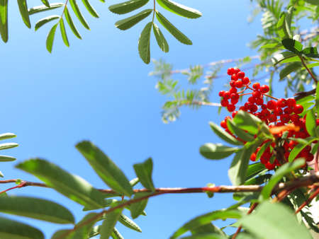 sorbus: Autumn red rowan berries on a tree. Rowanberry ashberry in the fall in natural setting on blue sky background. Sorbus aucuparia.