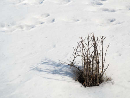 Dry plant with shadow on snow winter scenery photo