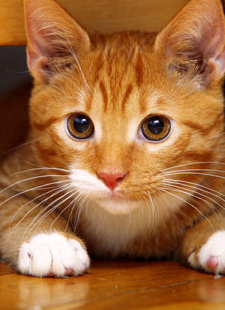 Animals at home. Close up red cute little baby cat pet kitten laying on floor photo