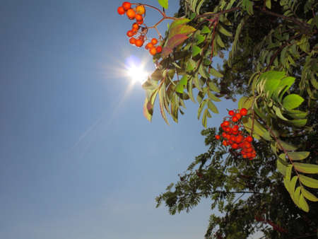 Autumn red rowan berries on a tree. Rowanberry ashberry in the fall in natural setting on blue sky . Sorbus aucuparia. Stock Photo