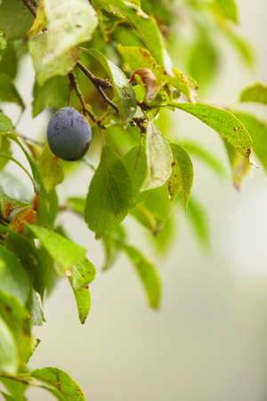 The fruits of plum trees growing on the tree. Purple plums. Natural products. photo