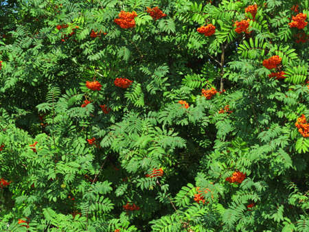 sorbus: Autumn red rowan berries on a tree. Rowanberry ashberry in the fall in natural setting on a green background. Sorbus aucuparia. Stock Photo