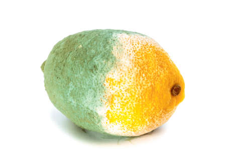 Closeup of green moldy lemon citrus fruit isolated on white. Damaged food.