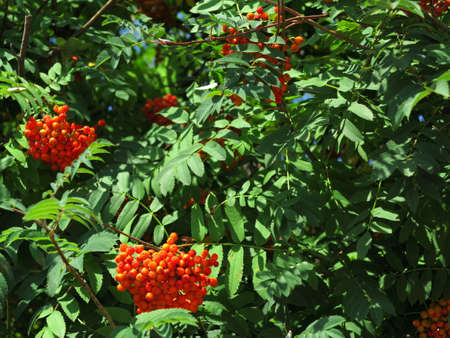 rowanberry: Autumn red rowan berries on a tree  Rowanberry ashberry in the fall in natural setting on a green background  Sorbus aucuparia
