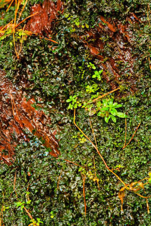 crack climbing: Orange wet stone natural rock wall and ivy leaves green plants Stock Photo