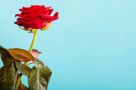 Gift for special occasion. Closeup of beautiful blossoming red rose flower as symbol of love on blue.