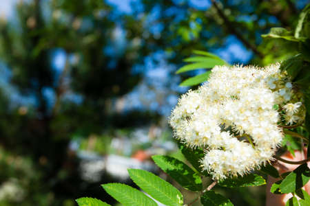 Nature. Closeup of branch with beauitful bloosoming white flowers of rowan tree. Spring. photo