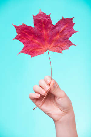 capillary: Skincare  Female hand holding leaf as symbol of red dry capillary skin complexion on turquoise
