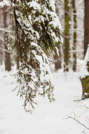 Winter season and seasonal specific. Forest trees covered with white fresh snow. photo