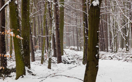 season specific: Winter season and seasonal specific. Forest trees covered with white fresh snow.