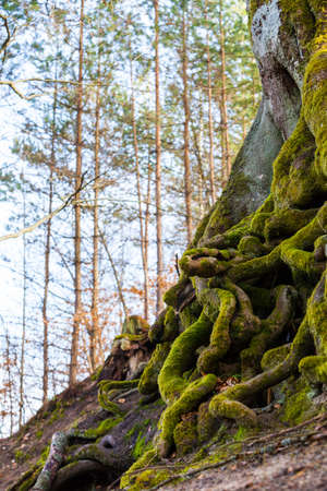 Nature. Closeup of tangled tree roots covered with green moss. Outdoor. photo
