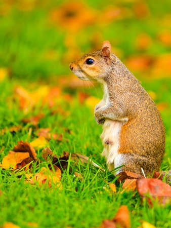 grey squirrel in autumn fall park colorful leaves outdoor photo