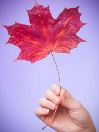 capillary: Skincare. Female hand holding leaf as symbol of red dry capillary skin complexion on violet. Stock Photo