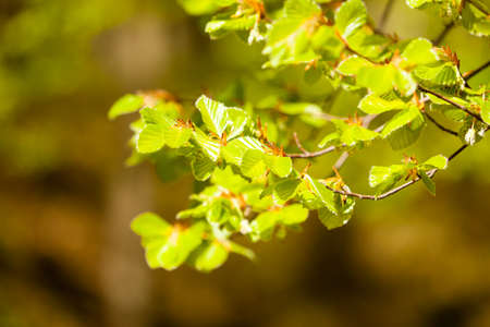 hazelnut tree: Nature. Green leaves on branch of filbert hazelnut tree in park or forest.