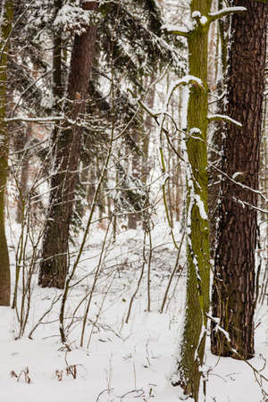 specific: Winter season and seasonal specific. Forest trees covered with white fresh snow.