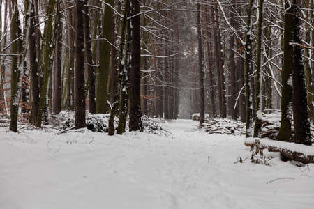 specific: Winter season and seasonal specific. Snowy alley path in forest.