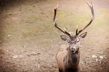 red deer: Majestic powerful adult male red deer stag in autumn fall forest. Animals in natural environment, beauty in nature.