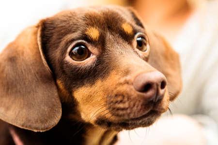 Animals at home. Closeup dachshund chihuahua and shih tzu mixed dog portrait indoor photo
