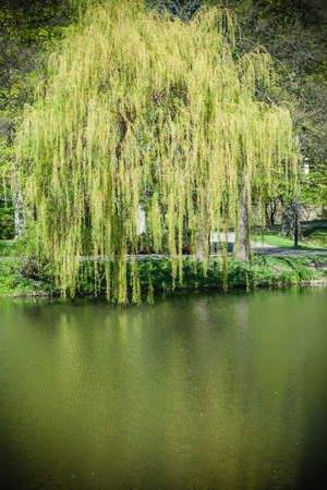 weeping willow: Natural landscape. View from shore of the lake or river of the weeping willow on the other side. Stock Photo