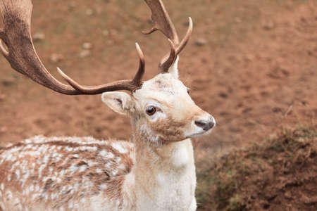 fallow deer: Young male fallow deer buck at park. Animals beauty in nature.