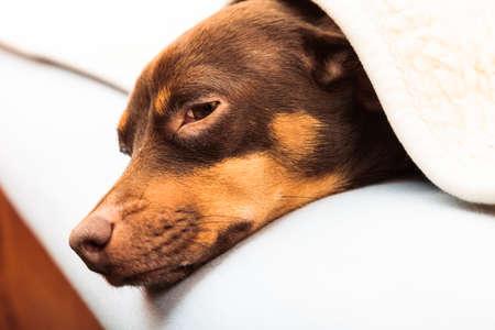chory: Zwierzęta w domu. Jamnik chihuahua i shih tzu mieszane pies relaks spania na łóżku pod wełniany koc krytym Zdjęcie Seryjne