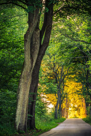 Sidewalk walking pavement alley path with old big trees in park. Beauty nature landscape. Summer walk. photo