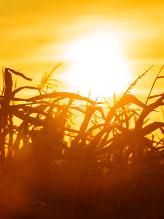 Dry corn field at the beautiful yellow sunset. Autumnal landscape. photo