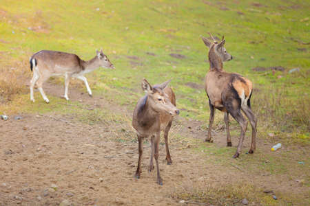 Herd of deer in the wild. Deer flock in natural habitat photo