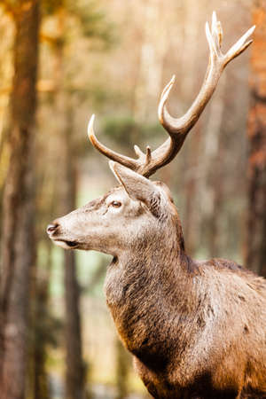 Majestic powerful adult male red deer stag in autumn fall forest. Animals in natural environment, beauty in nature. photo