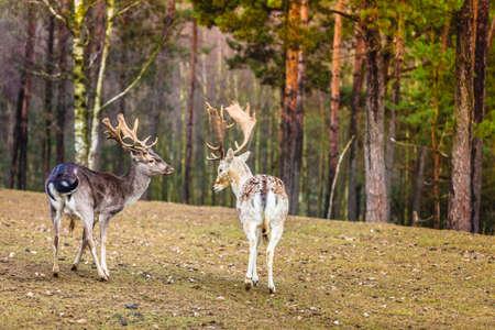 flocking: Two male deer in the wild. Deer flock in natural habitat