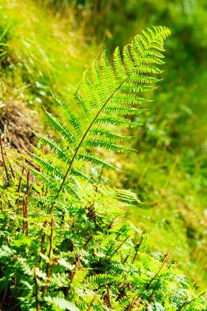 bracken: Jungle with fern leaves green bracken nature background