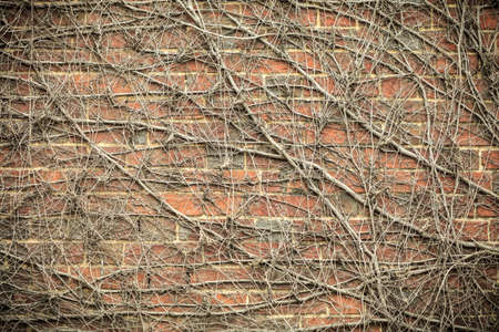 Red brick wall background with dry withered ivy plants. Abstract textured decorative backgrounds photo