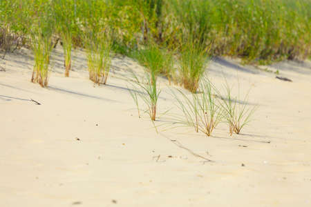 sea grass: Sea grass on the coast dunes of the Baltic Sea. Sandy beach in summer. Copy space