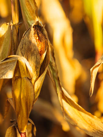 Closeup of dry corn on the stalk in the field photo