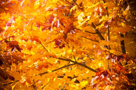 leaf color: Bright autumn leaves in the natural environment. Fall maple trees, yellow orange nature background