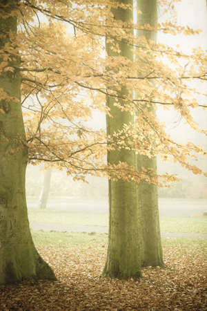 hazy: Nature and environment. Forest autumnal trees. Landscape in the foggy hazy day. Stock Photo