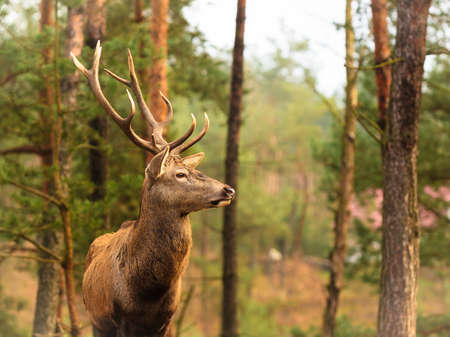 fall beauty: Majestic powerful adult male red deer stag in autumn fall forest. Animals in natural environment, beauty in nature.