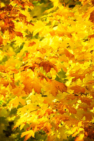 Bright autumn leaves in the natural environment. Fall maple trees, yellow orange nature background