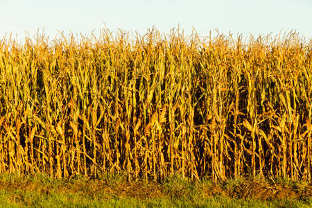 Dry corn field at the sunset. Agriculture photo