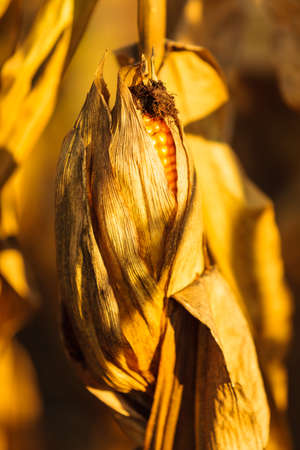 corn stalk: Closeup of dry corn on the stalk in the field Stock Photo