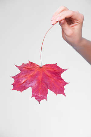 capillary: Skincare. Female hand holding leaf as symbol of red dry capillary skin complexion on gray. Stock Photo