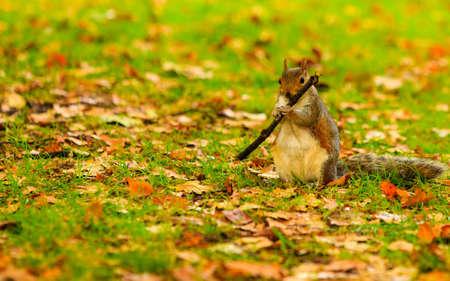hojas de colores: ardilla gris en el parque de oto�o caen las hojas de colores al aire libre