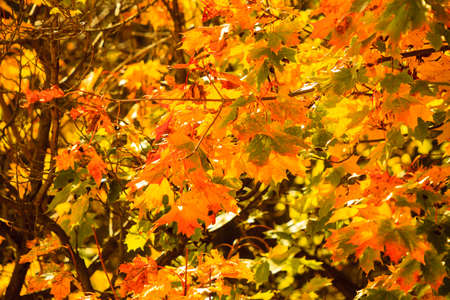 Bright autumn leaves in the natural environment. Fall trees, yellow orange nature background