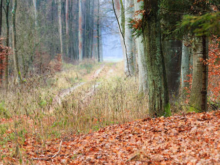 road autumnal: Fall landscape. Country road in the autumn forest. Misty hazy autumnal day.