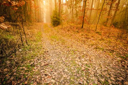 Pathway through the misty autumn forest on foggy day. Autumnal scenery, beauty landscape. Fall trees and leaves. Stock Photo