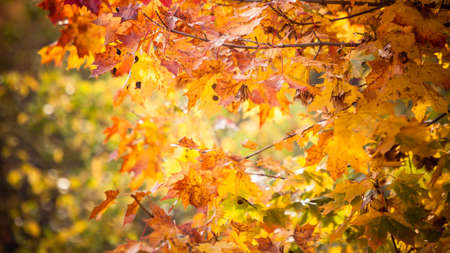 Bright autumn leaves in the natural environment. Fall trees, yellow orange nature